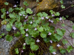 Ivy-leaved Toadflax (Cymbalaria muralis